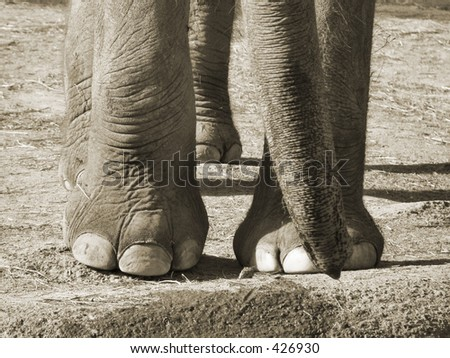 Close Shot of Asian Elephant's feet and trunk - stock photo