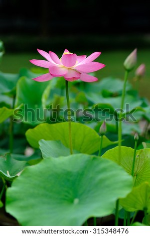 Close to a lotus