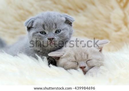 Close two funny little gray kitten on white blanket - stock photo