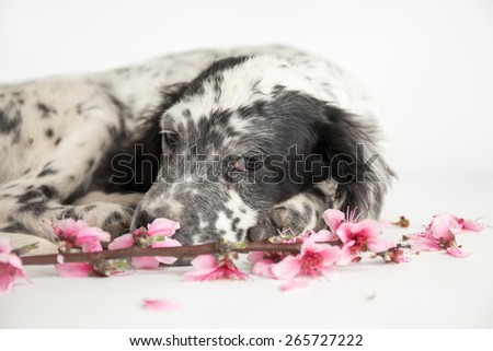 Close uo portrait of puppy dog of setter that celebrates spring with twig of peach and pink flowers - stock photo