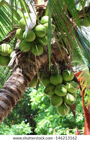 Close Up a Bunch of Green Coconut at Tree. - stock photo