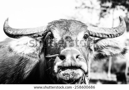 Close up a face of asia buffalo with black and white color ,focus on horn and eye - stock photo
