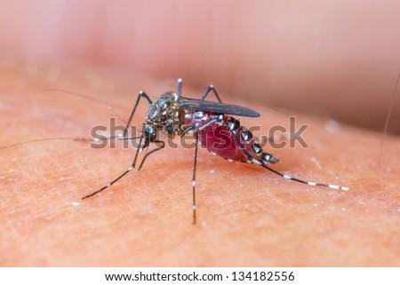Close up a Mosquito sucking human blood_set A-2 - stock photo
