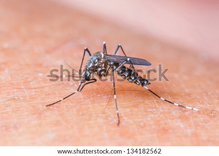 Close up a mosquito sucking human blood_set A-1 - stock photo