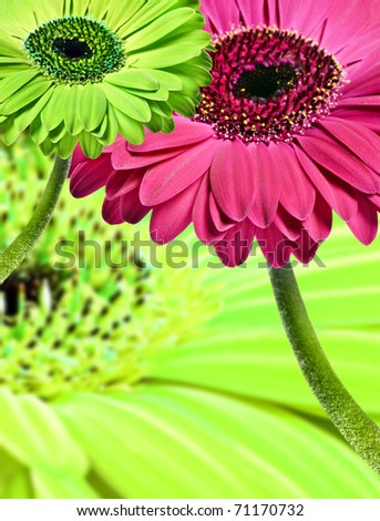 Close up abstract of colorful daisy gerbera flowers - stock photo