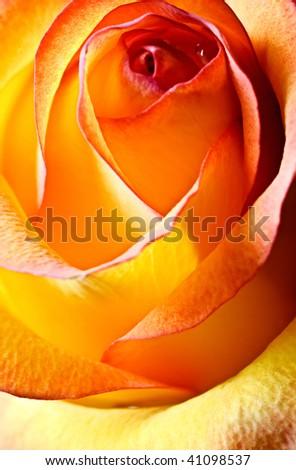 close-up abstract yellow beautiful rose - stock photo