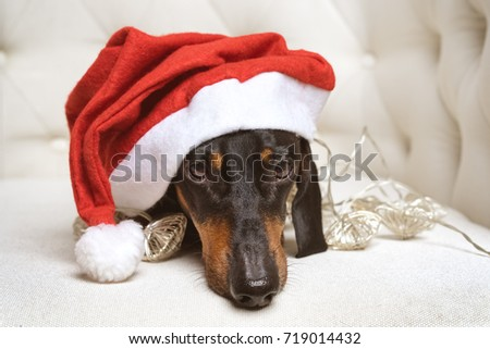Cool Sad Black Adorable Dog - stock-photo-close-up-adorable-and-sad-dog-puppy-dachshund-black-and-tan-wearing-santa-hat-and-wrapped-in-a-719014432  Picture_765239  .jpg