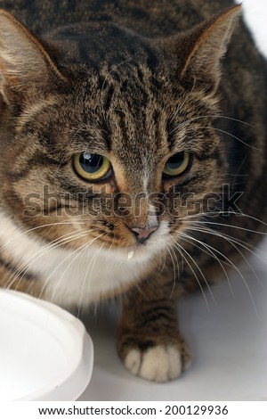 close-up adult tabby cat eats from a white bowl on a white background studio - stock photo