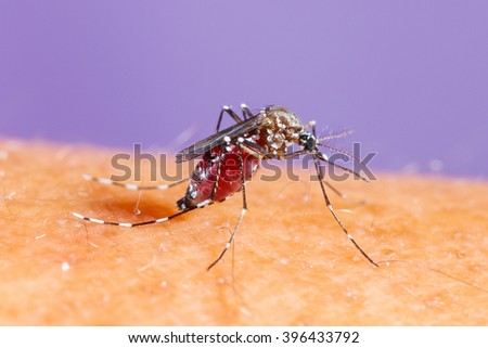 Close up aedes albopictus mosquito, pest animal, contagion - stock photo