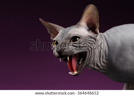 Close-up Aggressive Sphynx Cat Hisses on purple background - stock photo