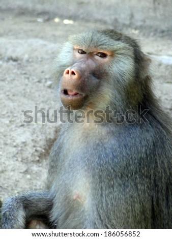 Close Up Baboon - stock photo