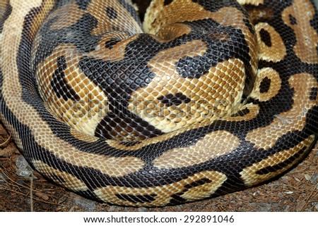 close up Ball python snake skin - stock photo