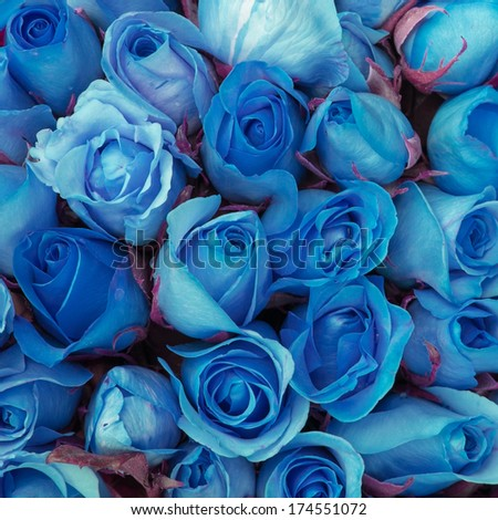 close-up beautiful blue rose - stock photo