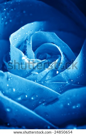 close-up beautiful  blue rose with water drops - stock photo