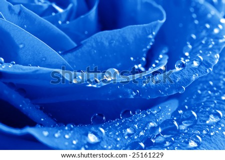 close-up beautiful blue rose with water drops