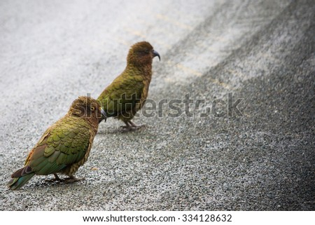 close up beautiful color feather ,plumage of kea birds with blur background ,kea important animals sign of south island of new zealand - stock photo