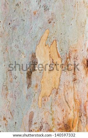 Close up beautiful eucalyptus tree bark texture in public park - stock photo