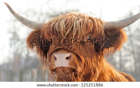 Close-up beautiful portrait scottish cattle - stock photo