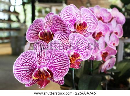 Close up Beautiful purple orchid background - stock photo