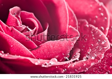 close-up beautiful rose with water drops - stock photo