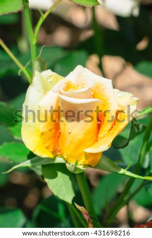 Close up beautiful scented romantic intense yellow hybrid tea rose in bloom in early spring is a gardener's delight. - stock photo