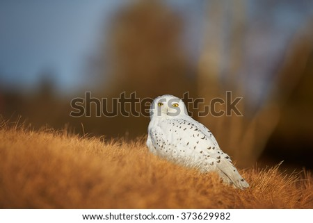 Close up beautiful Snowy owl Bubo scandiacus, white owl with black spots and bright yellow eyes sitting on dry ground on meadow, staring directly at camera. Blurred blue and orange background. Autumn. - stock photo