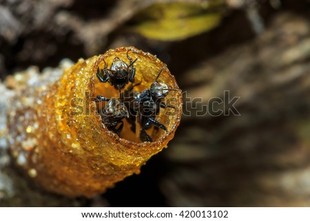 close up bee on nest,Stingless bee, bee,insect, bug, animal. - stock photo