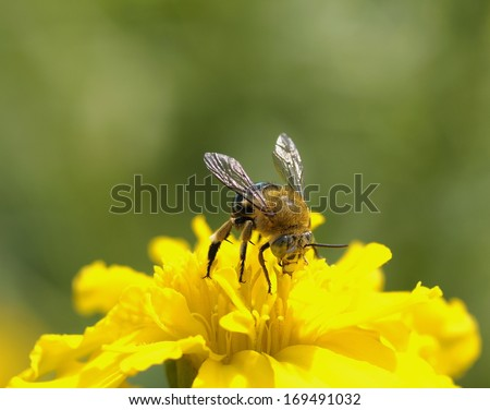 Close up Bee on yellow flower ( Leaf-cutting bees ) - stock photo