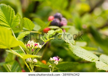 Close up bees on flower black raspberry bunch of berries ripening on sunny day - stock photo