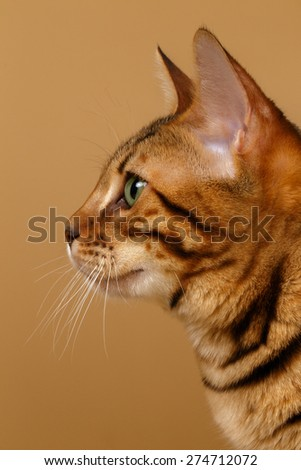 Close-up Bengal Cat Portrait at Profile view on Brown Background - stock photo