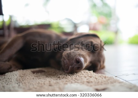 Close up Big Labrador dog sleeping on the floor