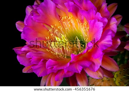 Close up bloom of a Trichocereus cactus.  the stamen seem to be reaching out to send their pollen out into the world.  The bloom is a vibrant pink. - stock photo