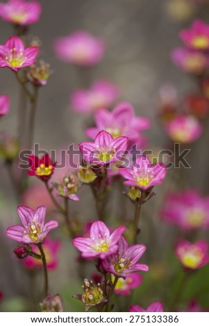 Close up blossom pink flowers - stock photo