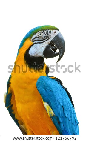 Close up. Blue and Gold Macaw, Scientific name : Ara ararauna
