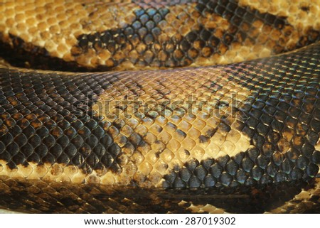 close up boa constrictor snake skin