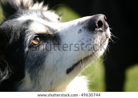 "close up border collie face dog, amber eye colour ""sheep dog"" - stock photo"