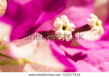 Close-up Bougainvillea bloom with fuschia leaves - stock photo
