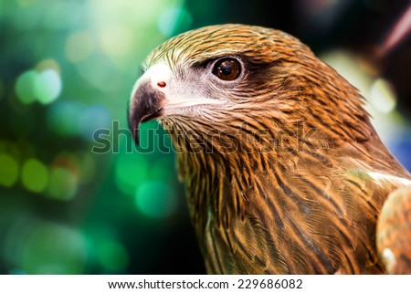 Close up Brahminy Kite  - stock photo
