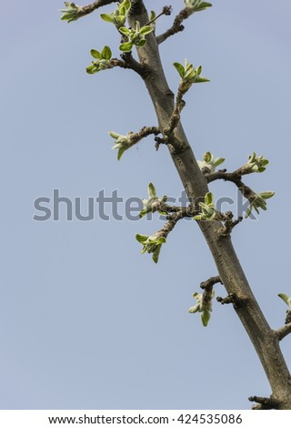 close up branch with young leaves ( bud ) in spring against sky - stock photo