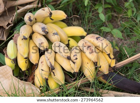 close-up Bunch of ripening bananas in nature,Thailand - stock photo