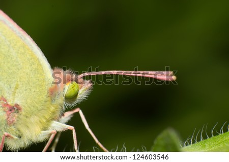 Close-up butterfly long tentacles - stock photo