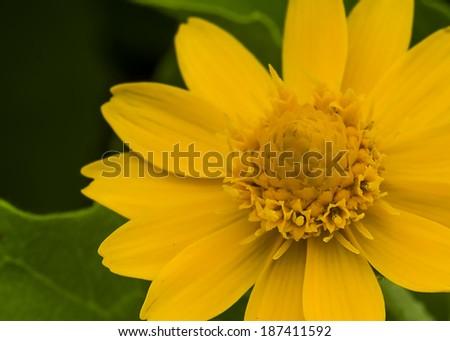 Close up Calendula officinalis flower. Selective focus - stock photo