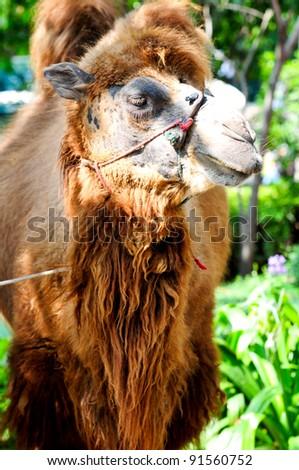 Close up Camel - stock photo