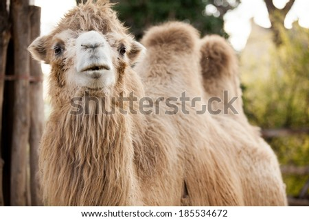 close up camel in the zoo