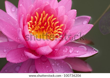 Close up carpel of lotus color yellow - stock photo
