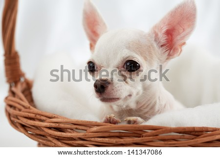 Close-up chihuahua sitting in wicker basket - stock photo