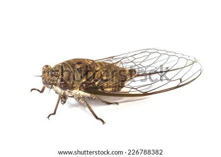 Close up cicada on white background - stock photo