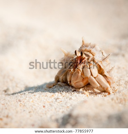 Close up color picture of hermit crab crawling through sandy beach, Krabi , Thailand - stock photo