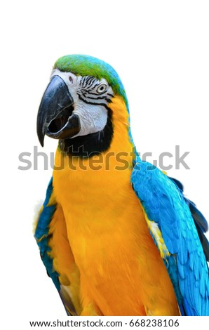 Close up colorful birds on white background, Blue and Gold Macaw scientific name Ara ararauna