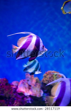 Close up colorful Wimple-fish in a aquarium - stock photo